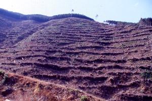 大規模な植林地