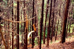 間伐が遅れている人工林
