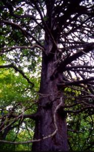 森の巨人達100選・洞爺湖中島の アカエゾマツ(北海道)