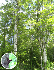 ブナ林と森吉山麓に棲むクマゲラ