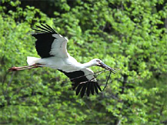 巣材を運ぶコウノトリ(写真・豊岡市提供)