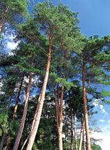 岩手県の木「ナンブアカマツ」