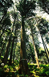 樹齢380年のスギ(人工林)